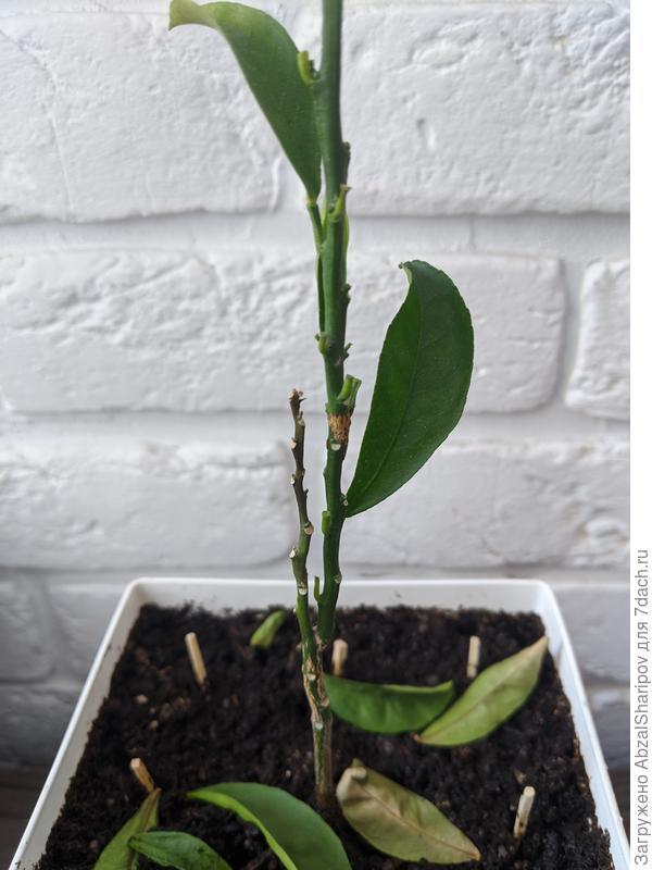 Почему опадают листья у цитрусового растения? Как спасти?
