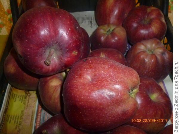 Фото 2 неизвестный сорт яблок