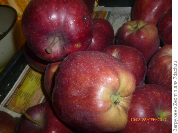 Фото 1 неизвестный сорт яблок