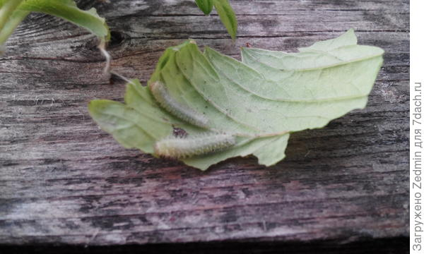 Гусеница на листьях ягоды лесной.2фото