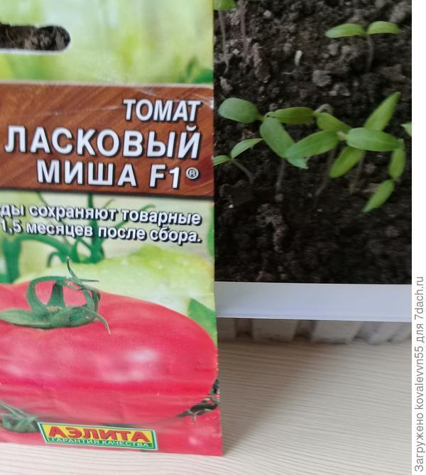 """Ростки томатов Ласковый миша фирмы """"АЭЛИТА"""""""