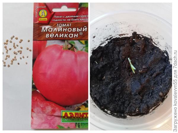"""Семена и первый росток томата """"Малиновый великан"""""""