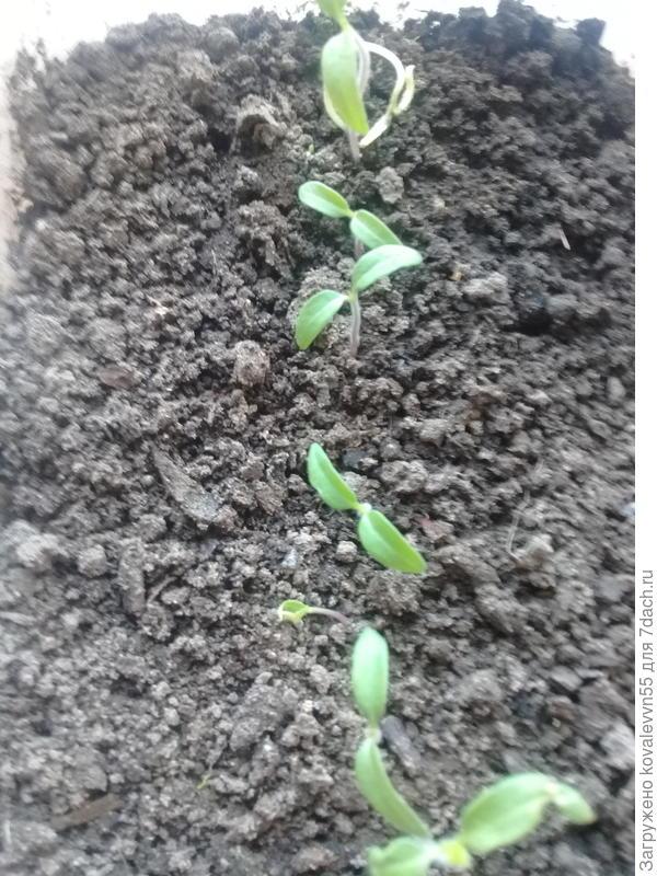 """первые ростки томата """"Мишка на Севере"""""""
