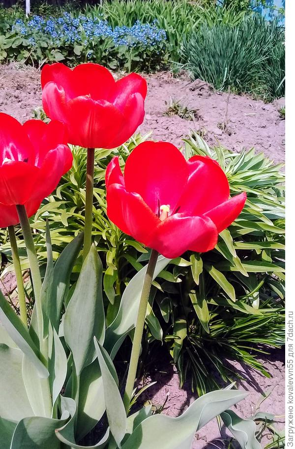 Традиционные дачные тюльпаны тоже хороши