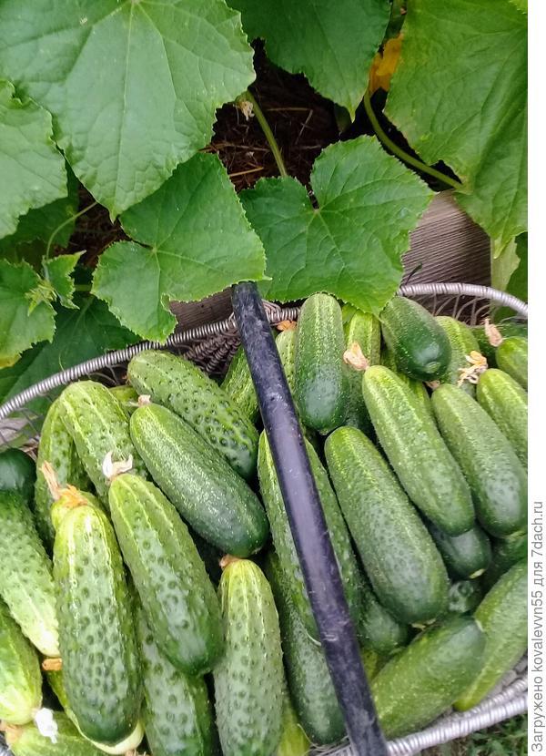 Очередной сбор урожая огурцов от Аэлиты: Веселые гномики(справа) и Мечта дачника (слева)