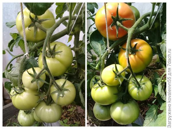 Этапы созревания томатов 100%
