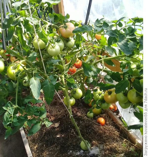 Один из кустов томатов 100%