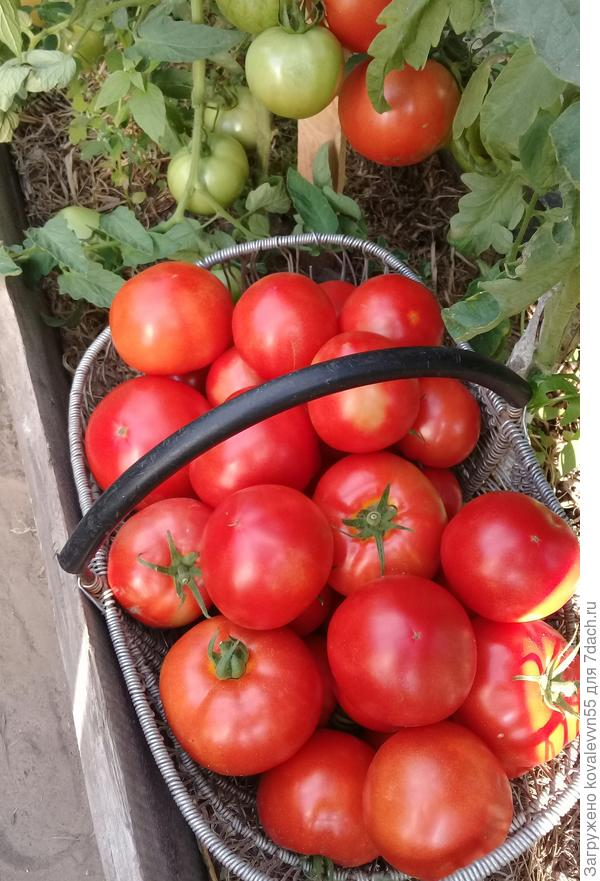 Один из сборов томатов 100%