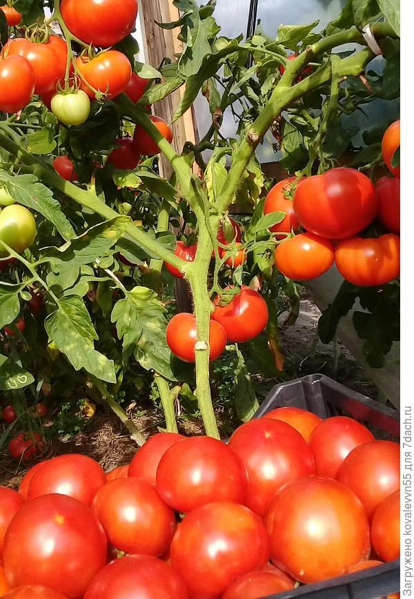 Сбор томатов 100%