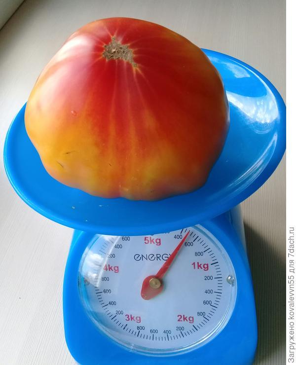 Вес томата Сокровище инков