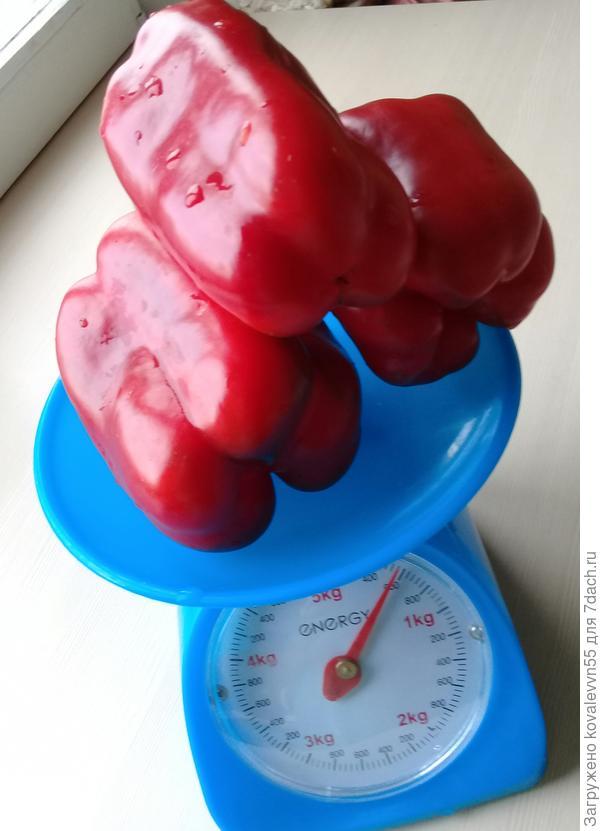 Первый вес перцев с куста