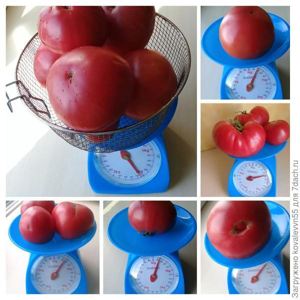 Вес томатов Малиновый великан с куста