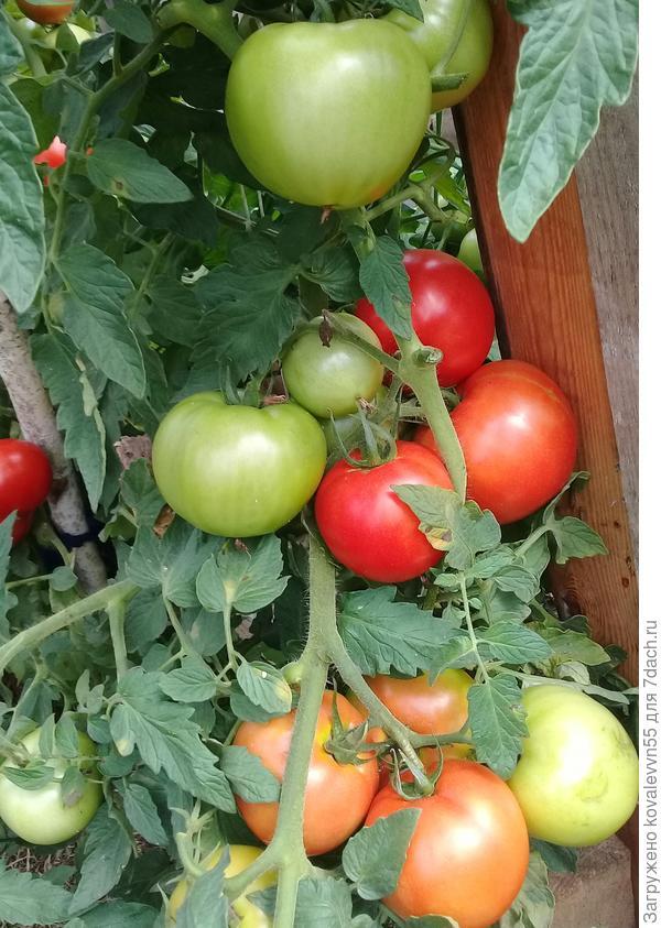 Созревающие томаты Ласковый Миша