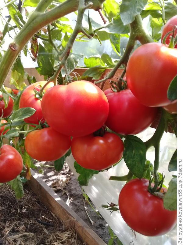 Кисти томатов 100%