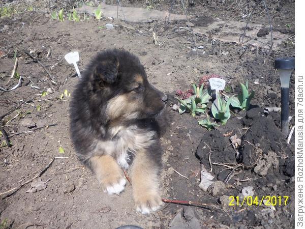 Наш новый воспитанник возле тюльпанов