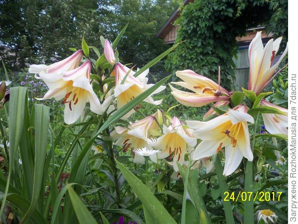Лилия Регале с немного искривлёнными цветками