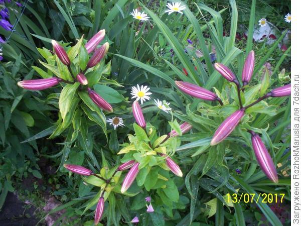 Бутоны трубчатой лилии