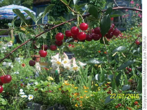 В саду созрели вишни