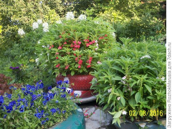 Виолы и бальзамин садовый