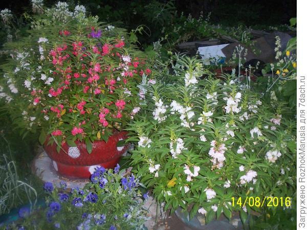 Бальзамин на пике цветения