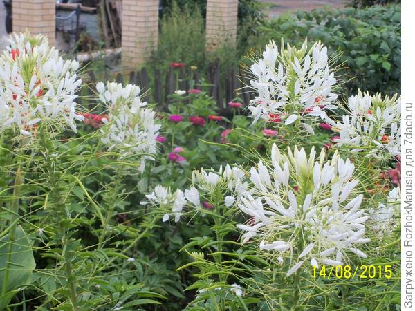 У клеомы на месте цветов образуются стручки семян, которые делают растение ещё больше похожим на паучка
