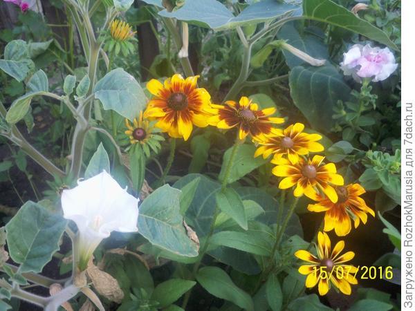 Белые колокола датуры в жёлтых цветах рудбекии