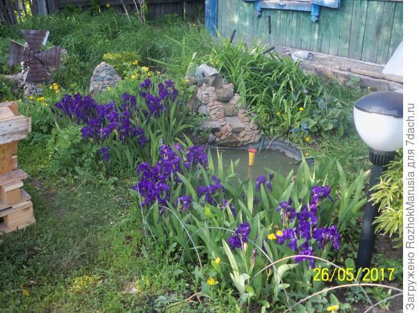 и снова цветут ирисы