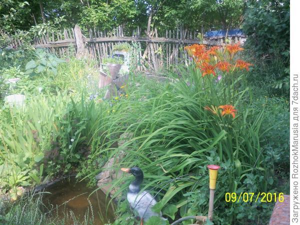 лилейник цветёт