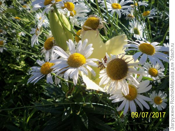 Лилия Аполло в зарослях ромашки