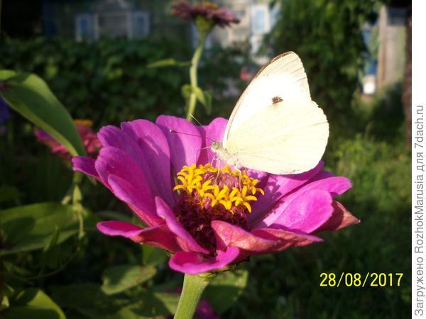 бабочка на цветке цинии