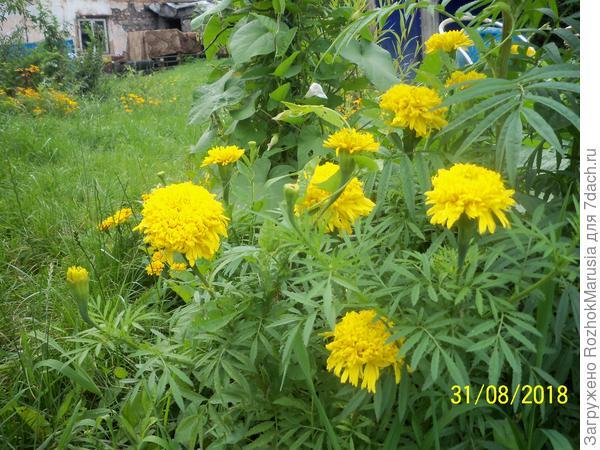 Жёлтые высокорослые бархатцы
