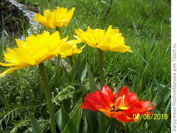Махровые тюльпаны, один красный затесался))