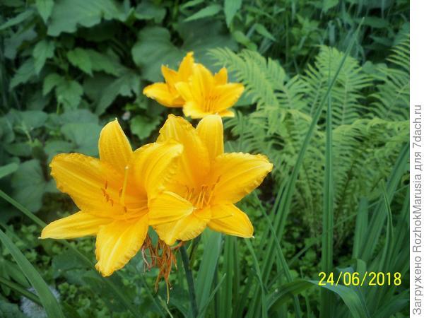 Жёлтый лилейник, очень рано зацветает, самый первый из всех лилейников.