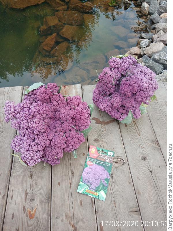 Подводим итоги с капустой 'Фиолетовый Шар' F1
