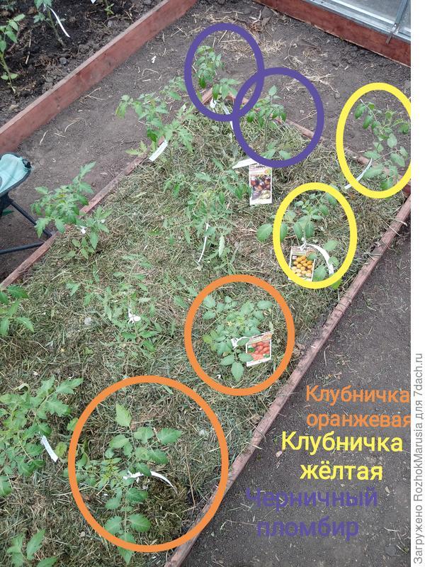 Две клубнички и пломбир переезжают в новый мир! Томаты от Русского Огорода переселяются в новую теплицу