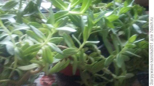 растение-пахнет лимоном,подскажите как называется?