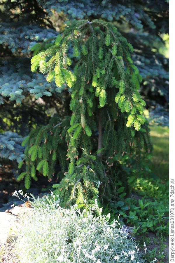Picea abies 'Acrocona.
