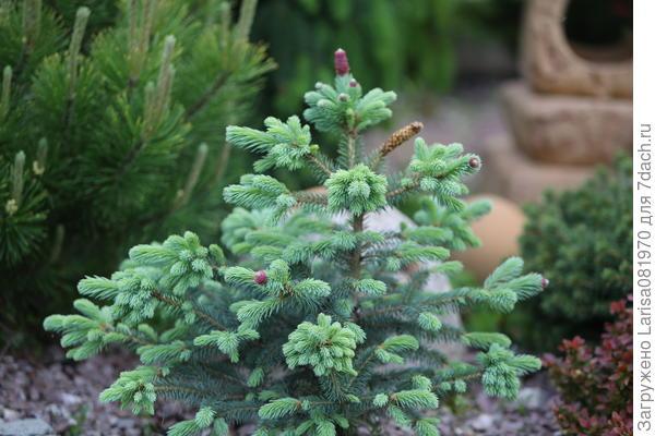 """Picea pungens """"Hermann Naue""""."""
