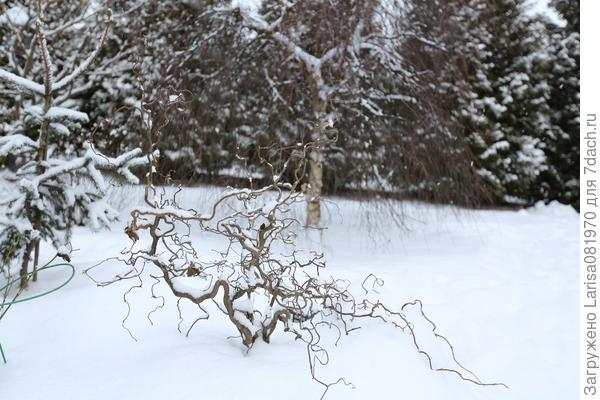 Лещина конторта зимой