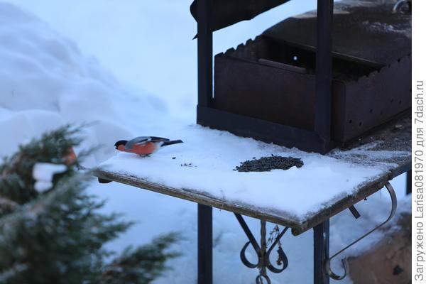 Жадный снегирь, охраняет семечки.