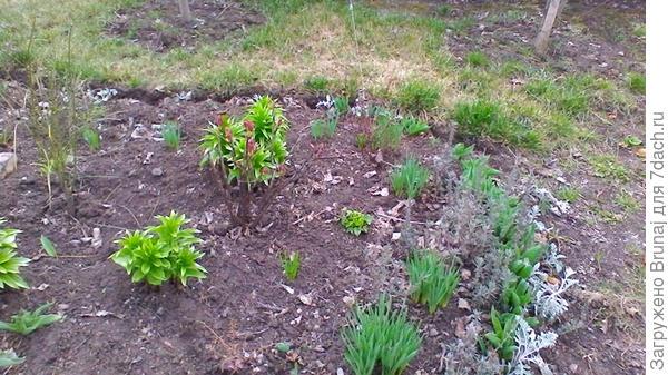Слева от куста древовидного пиона растет метельник. Не ожидала, что на фоне остальных растений будет так незаметен, поэтому больше здесь не растет, переехал к розам.