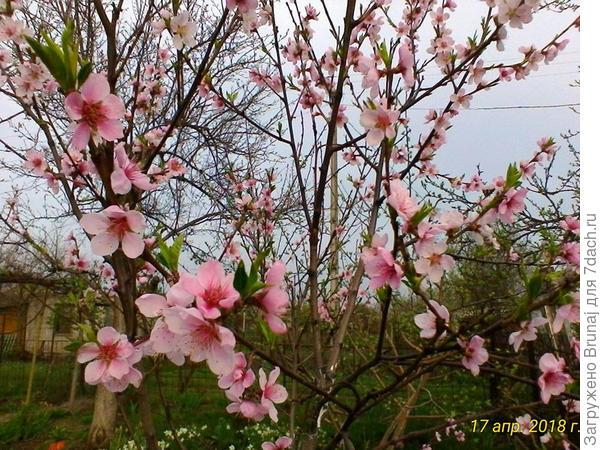 персик встречает весну...