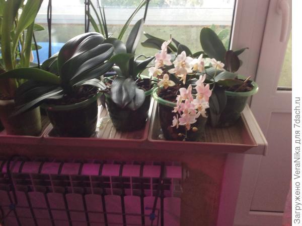 Цветение орхидеи под лампой от Минифермер