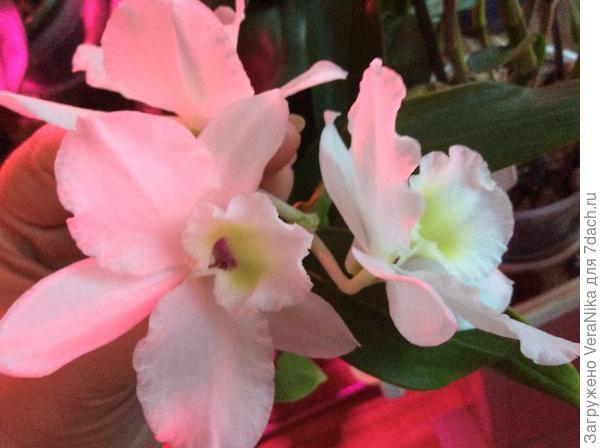 цветение моего дендробиума