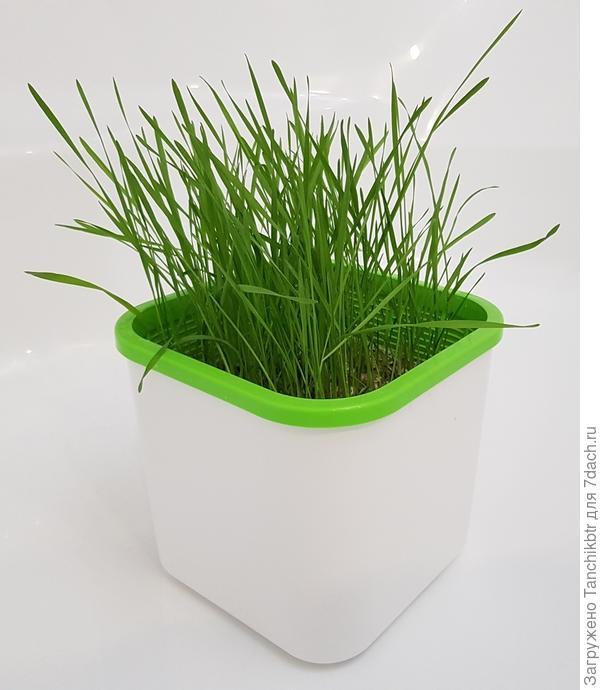 микрозелень спельты