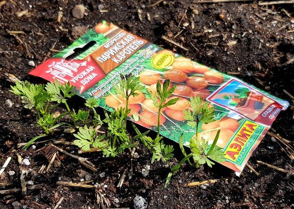 Морковь 'Парижская каротель': первый шаг навстречу раннему урожаю