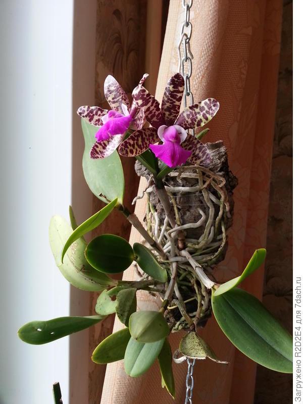 Орхидея Cattleya (Sophia Martin x Thospol Spots) x aclandiae