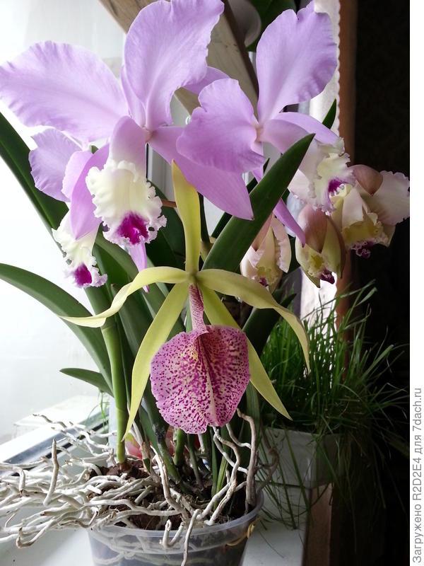 мои любимые орхидеи в цвету