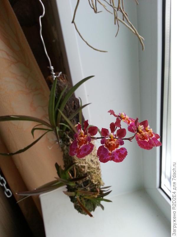 Орхидеи Tolu.Jair M Flyer 'Scatter'
