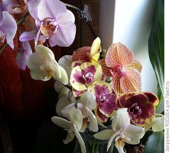 мои орхидеи фаленопсисы